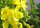 春の七草 菘(すずな) カブの花