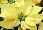ポインセチア 黄