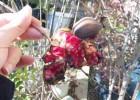 ザクロの実とイトウの手